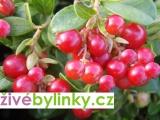 10 ks velkoplodých brusinek Korale a Red Pearl (Vaccinium vitis idaea)