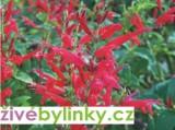 Šalvěj ananasová (Salvia rutilans ´Pino´)