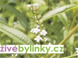 Verbena citrónová - Aloisie (Lippia citriodora)