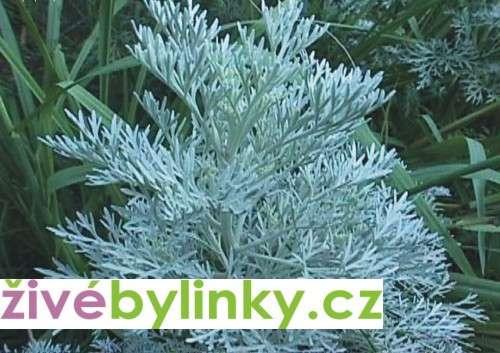 Pelyněk pravý ´Absinth´ (Artemisia arborescens ´Absinth´)