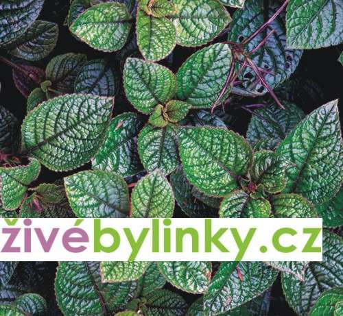 Moud purpurový (Plectranthus purpuratus)