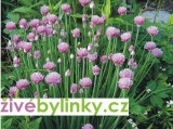 Pažitka, šnitlík (Allium schoenoprasum ´Prado´) - velké rostliny
