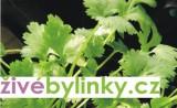 Koriandr setý (Coriandrum sativum ´Calypso´)