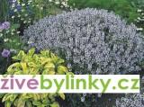 Zvětšit fotografii - Pravý tymián ´Tim´ (Thymus vulgaris ´Tim´)