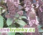 Bazalka vytrvalá purpurová (Ocimum x hybrida ´Magic Blue´)