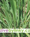 Citronová tráva (Cymbopogon citratus)