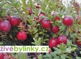 5 ks velkoplodé BRUSINKY KLIKVY za zvýhodněnou cenu (Vaccinium macrocarpon) - velké rostliny rodící