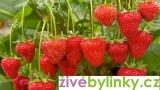 Toskánské převislé velkoplodé jahody (Fragaria x ananasa ´Toscana´)