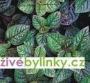 5 ks Moudu purpurového (Plectranthus purpuratus)