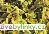5 ks Moudu citrónového (Plectranthus ciliatus)