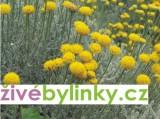 Zvětšit fotografii - Svatá bylina (Santolina chamaecyparissus )