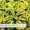 Zlatá šalvěj Goldblatt (Salvia off.´Goldblatt´)