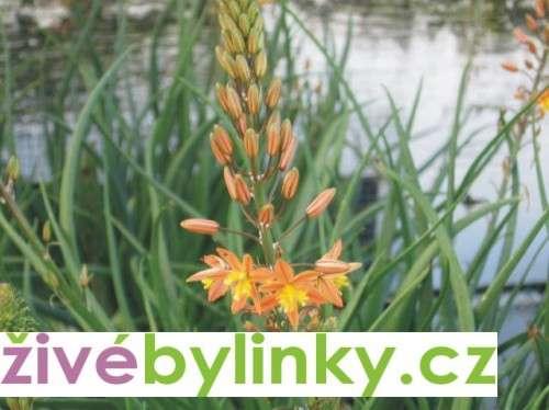 Kočičí ocásek Medicus - Jagavka (Bulbine frutescens)