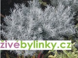 Kari koření zakrslé (Helichrysum italicum ´Aladin´)