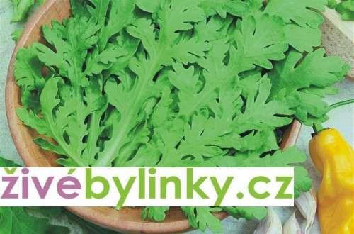 Maiko - jedlá japonská chryzantéma (Chrysanthemum coronarium)