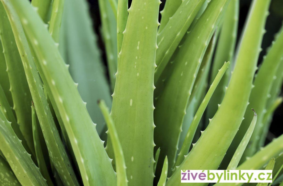 Aloe pravá, léčivá (Aloe vera) - velké dvouleté rostliny!