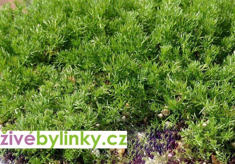 Anglický vytrvalý heřmánek (Chamaemelum nobile 'Treneague')