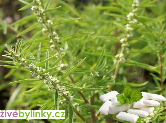 Argentinská žvýkačková bylina (Lippia polystacha)
