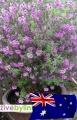 Australský mentolový keřík (Prostanthera rotundifolia) - NOVINKA JARO 2019