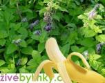 Banánová máta (Mentha arvensis)