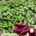 Fialové batáty, Sladké brambory - odrůda Murasaki (Ipomea batata) - NOVINKA 2017