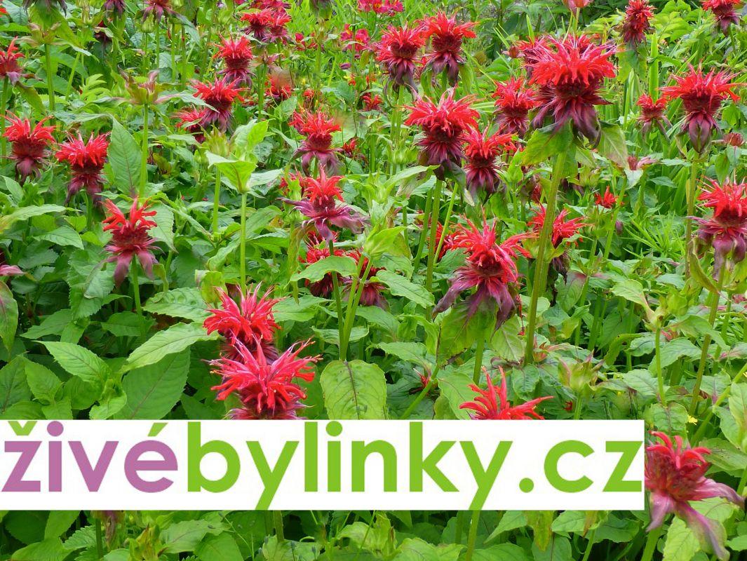 Bergamotová bylinka - zavinutka (Monarda fistulosa)