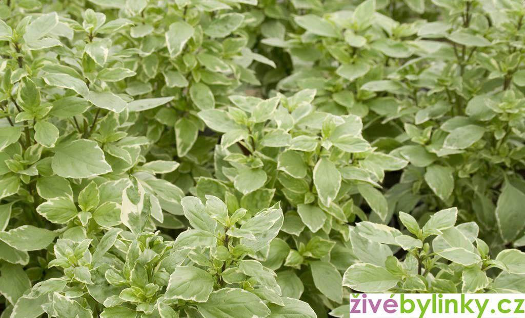 Bílá pesto bazalka (Ocimum basalicum ´Pesto Perpetuo´)
