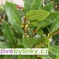 Bobkový list - Vavřín ušlechtilý (Laurus nobilis) - velká 2 letá rostlina, pr.kv.12 cm