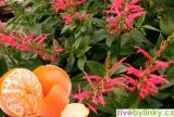 Brazilská mandarinková šalvěj  (Salvia elegans ´Scarlet Tangerine´)