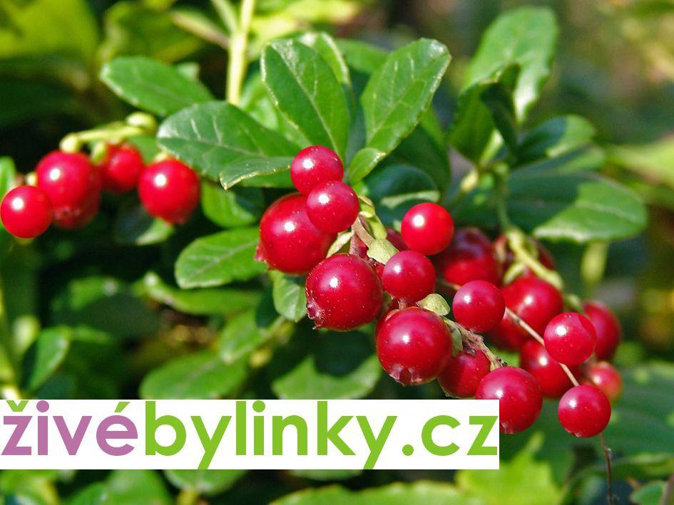 Brusinka Red Pearl (Vaccinium vitis idaea ´Red Pearl´)