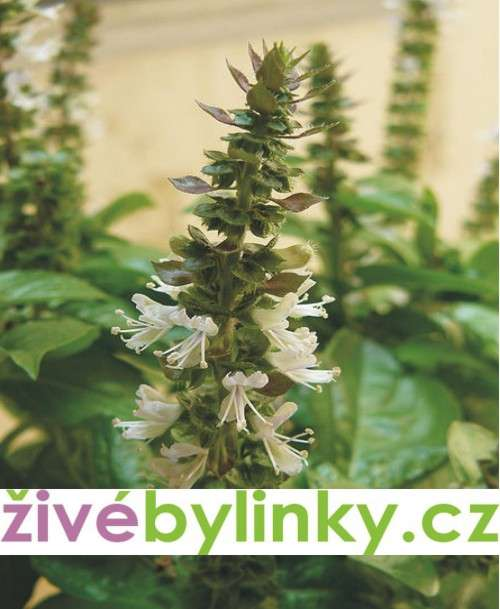 Bazalka vytrvalá zelená (Ocimum x hybrida ´Magic White´)