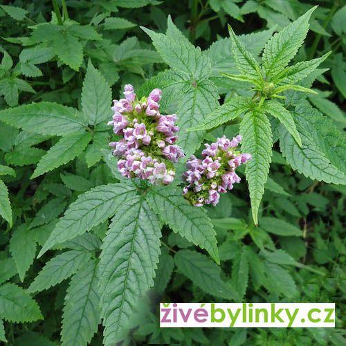 Cedronela kanárská (Cedronella canariensis) RARITA