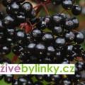 Velkoplodý černý bez Korsar (Sambucus nigra ´Korsar´) - velká plodící rostlina