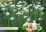 Česneková pažitka (Allium tuberosum)
