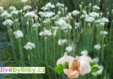 Česneková pažitka (Allium tuberosum) - NOVINKA JARO 2018