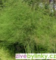 Chřest (Asparagus officinalis) - pro podzimní výsadbu