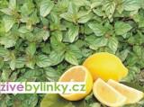 Citronová máta (Mentha piperita var. citrata)