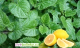 Citronová meduňka (Melissa officinalis ´Lemon Balm´)