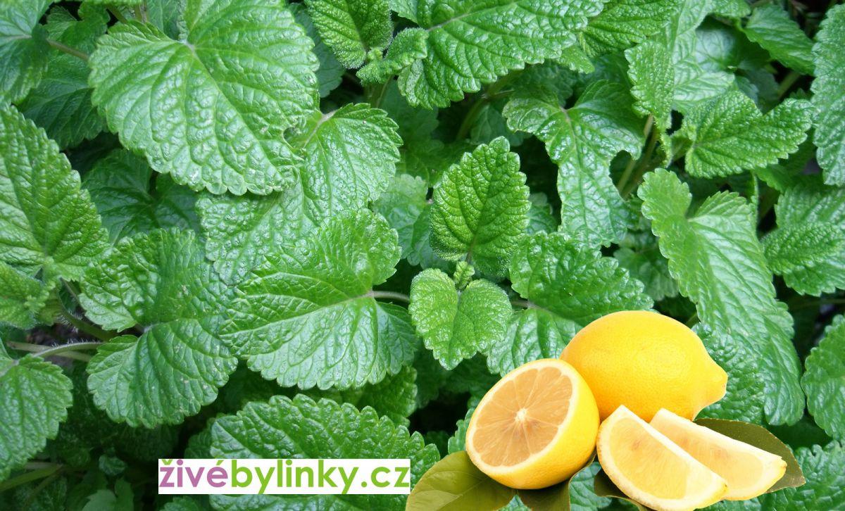 Citronová meduňka (Melissa officinalis ´Lemon Balm´) - NOVINKA JARO 2018
