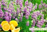 Citronová zavinutka (Monarda citriodora) - NOVINKA PODZIM 2017