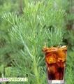 Cola bylinka (Artemisia abrotanum var. maritima ´Cola´) NOVINKA 2017