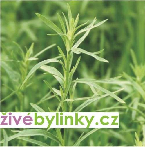 Francouzský estragon ´Pfefferkorn´ (Artemisia drancunculus ´Pfefferkorn´)