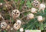 Damašský kmín (Nigella damascena)