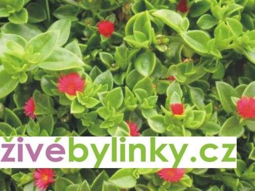 Kosmatovník srdčitý (Aptenia cordifolia)