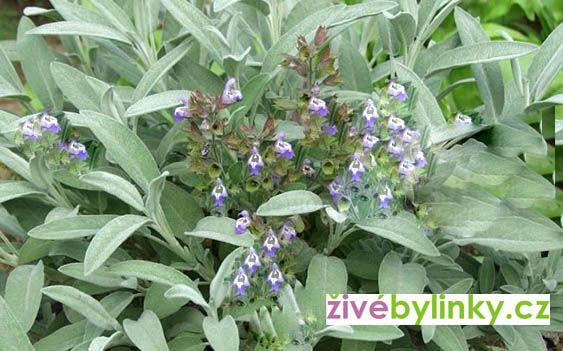 Divoká izraelská šalvěj lékařská (Salvia officinalis ´Nazareth´)