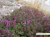Divoký izraelský tymián (Thymus pulegioides ´Tabor´ ) - NOVINKA JARO 2018