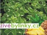 Ananasová máta (Mentha suaveolens ´Variegata´)