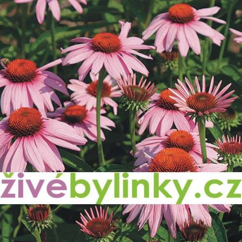 Echinacea - třapatka (Echinacea purpurea)