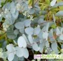 "Eucalyptus - blahovičník (Eucalyptus gunnii ""Silbertropfen"")"