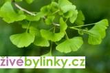 Ginkgo - jinan dvoulalčný (Ginkgo biloba) - vyprodáno